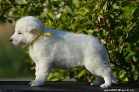 Белая Швейцарская Овчарка. Щенки