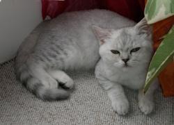 gorgeous British boy color chinchilla